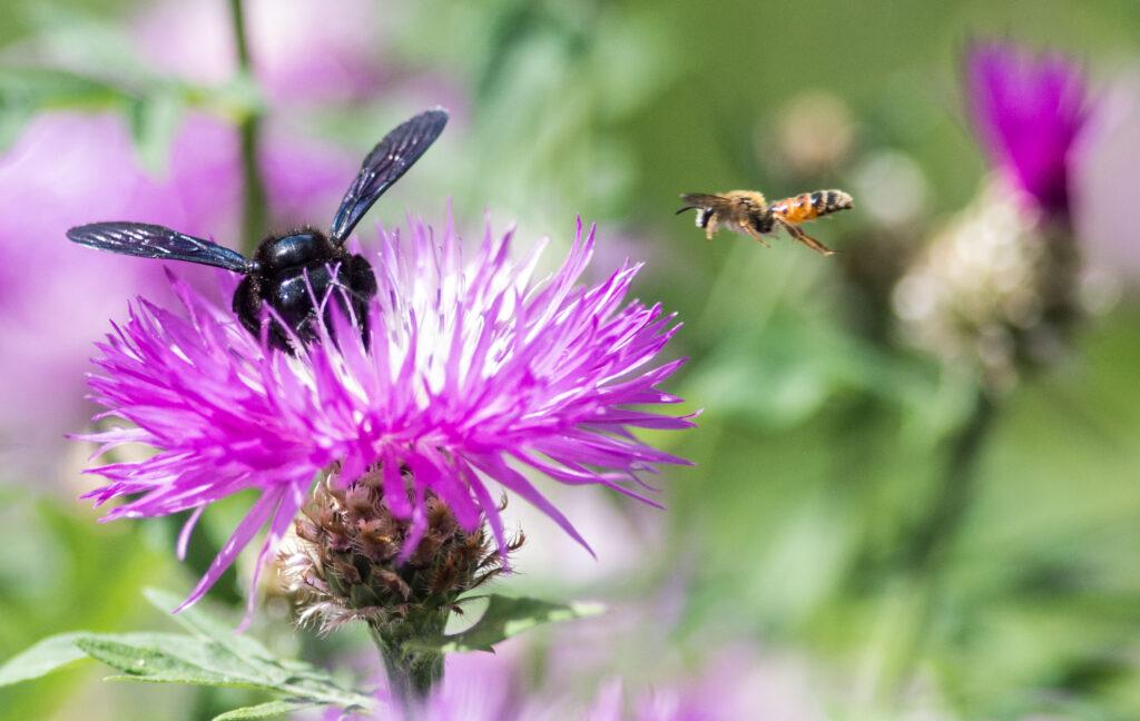 Wilde Linde, Dübener Heide, Heidesonntag, Insekten, Bienen, Hummeln, Frühling, Wildnispädagogik, Naturpädagogik, Umweltbildung